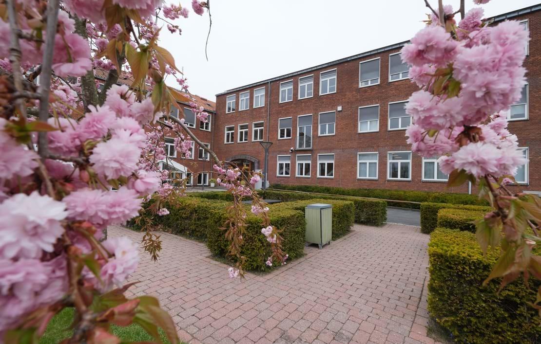 Japanske kirsebærtræer med lyserøde blomster i forgrunden for Ny købing Katedralskole
