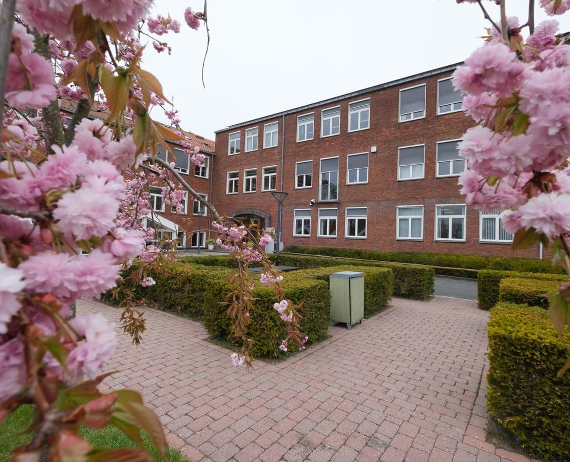 Lyserøde japanske kirsebær i blomst i forgrunden for Nykøbing Katedralskole