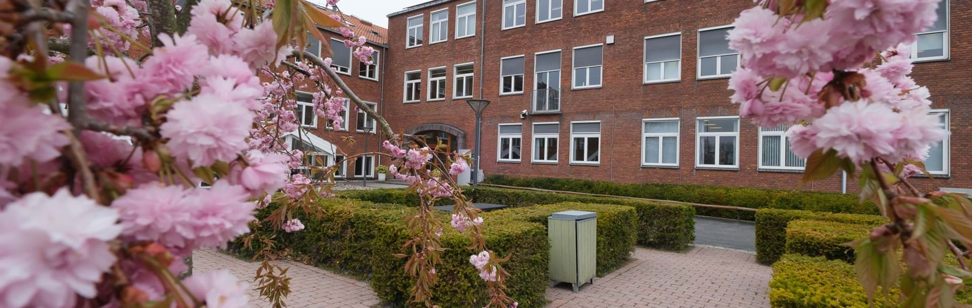 Nykøbing Katedralskole i baggrunden og lyserøde blomster på busk i forgrunden